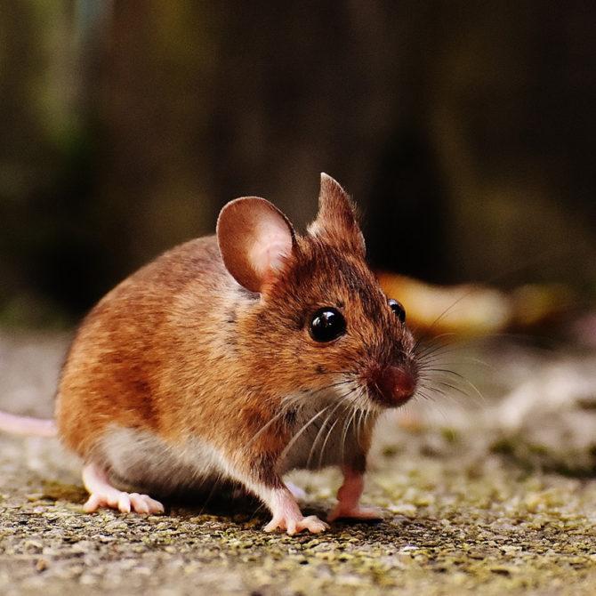 ¿Los roedores, enemigos o aliados de los ecosistemas?