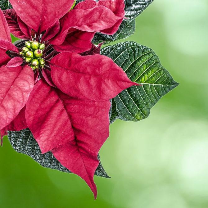 Espuma de Frutos Rojos y Nochebuena