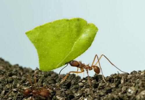 Las hormigas: una especie inteligente y socialmente organizada