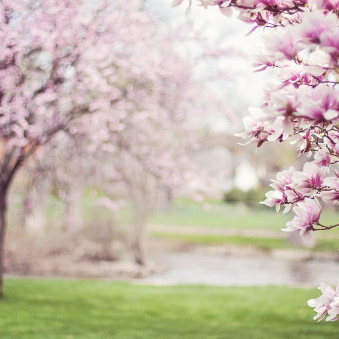 La Magnolia una planta hermosa y perfumada