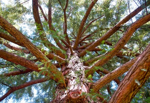 Ahuehuete el Árbol Nacional