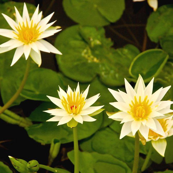 Ninfas, flores del agua